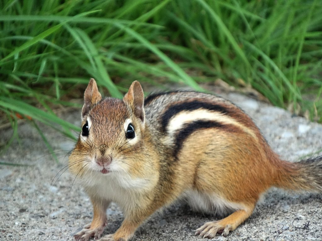 This is how the chipmunk I encountered in Centennial Park presented itself.