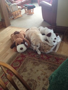 My dog gunner with his stuffed animal dogs