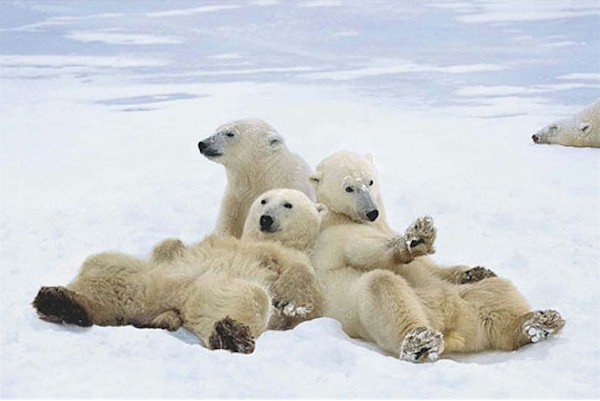 The polar bears are illustrating how to relax.