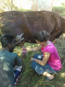 Milking the cow :)