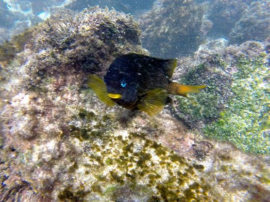 Yellowtailed Damselfish