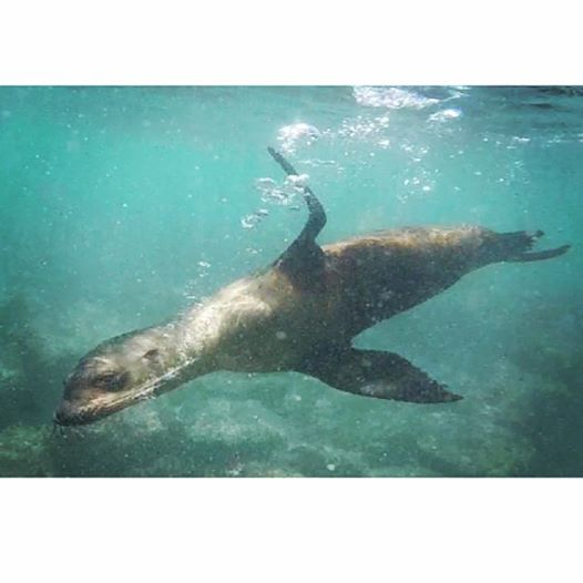 The sea lions love to play in the bubbles from your snorkel