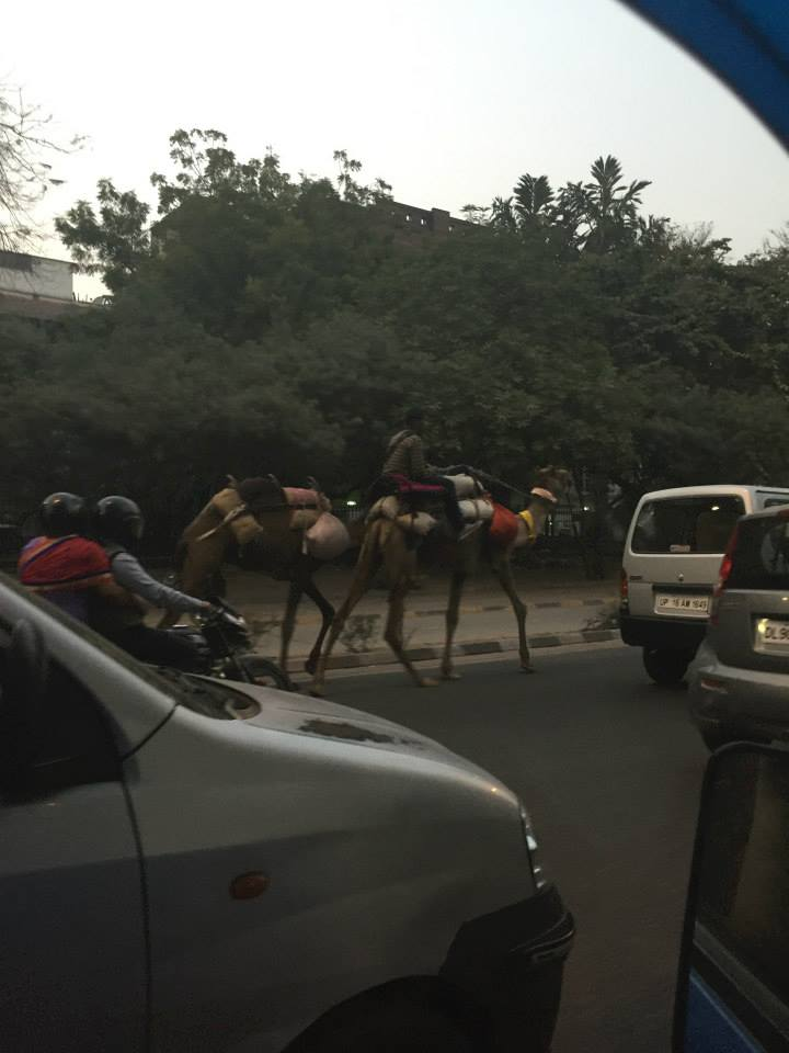 Seeing camels has become somewhat normal and it is great.