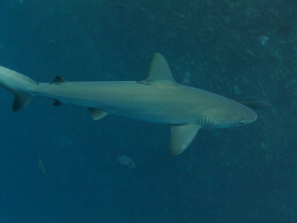 A Galápagos Shark