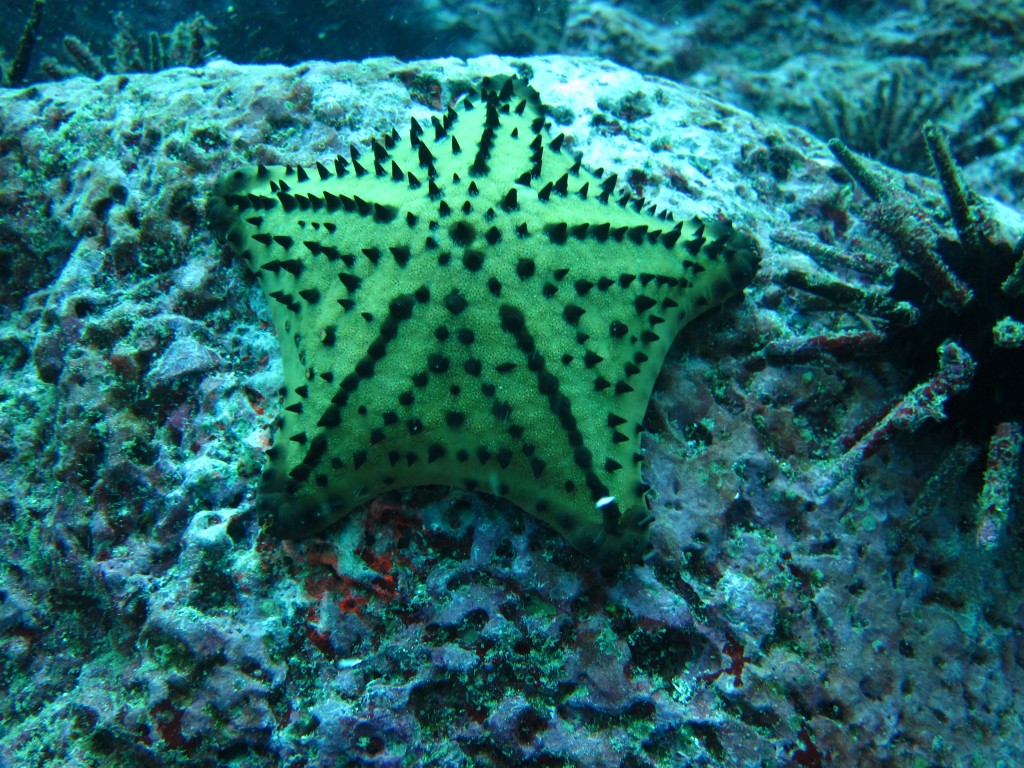 yellow sea star