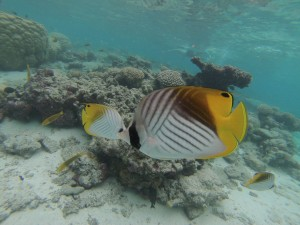 Butterflyfish! One of the many beautiful species in the Cook Islands.
