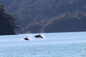 Two dusky dolphins making their way across the sound