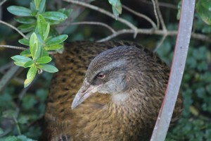 Stumpy, the weka bird, lost his foot in a possum trap and we decided to make friends with him and feed him leftover bread