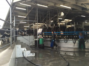 It was pretty great visiting the milking farms in New Zealand