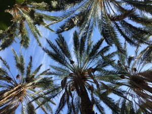 Some beautiful date palms.