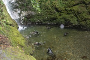Fur seal pups enjoying some play time at the Ohau stream!