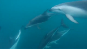 Here's a GoPro screenshot of some the dolphins swimming by! PC: Bennett Mabee