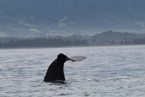 Whale watching was a truly magical experience! This is a sperm whale named Jonah who has been seen around Kaikoura since 1991